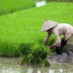 Таиланд ученые рис