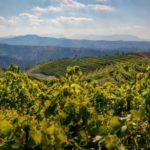 Словения виноградники