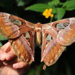 Ямайка крупных бабочек в мире