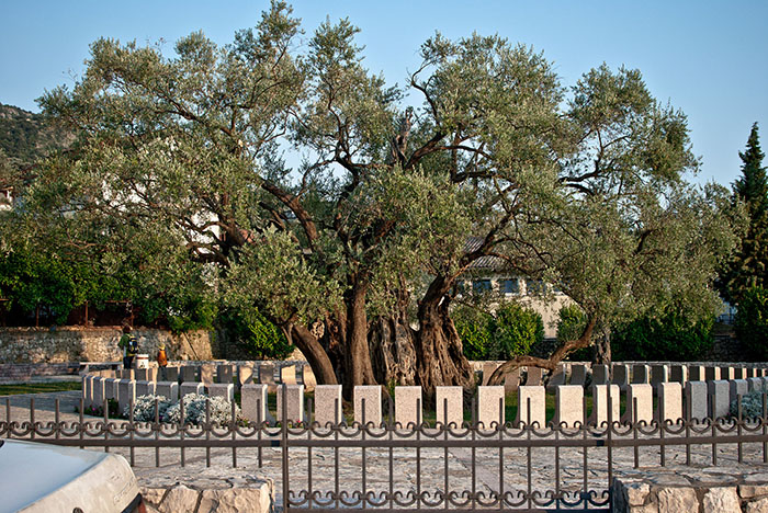 Черногория оливковое дерево